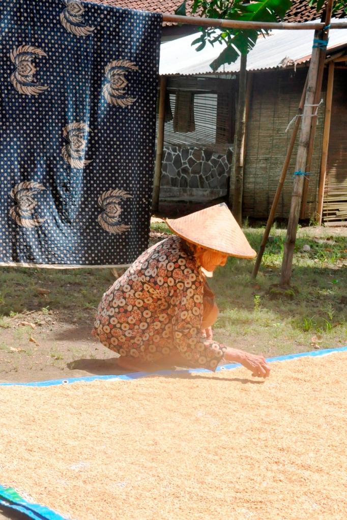 Femme s occupant du riz Yogyakarta.